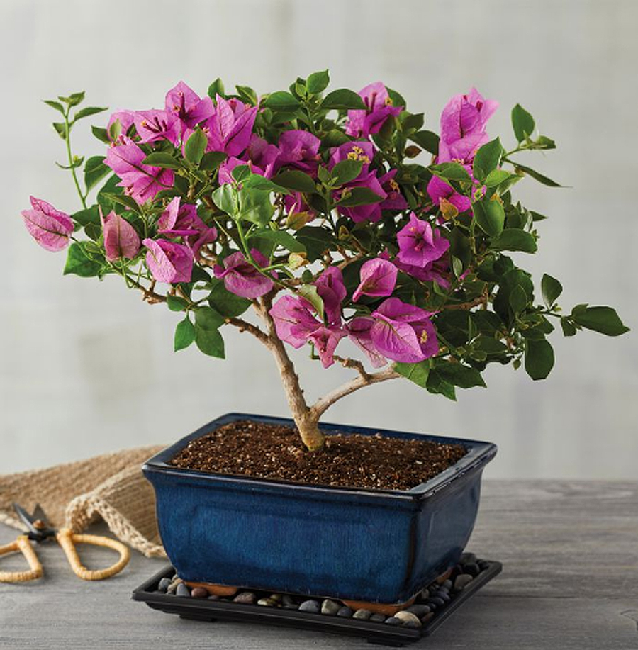 Flower alternatives for Mother's Day: A beautiful bonsai in a pretty blue pot